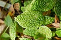 Begonia microsperma-Jardin botanique Jean-Marie Pelt (1).jpg