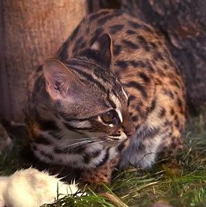Prionailurus - Leopard cat (Prionailurus bengalensis)