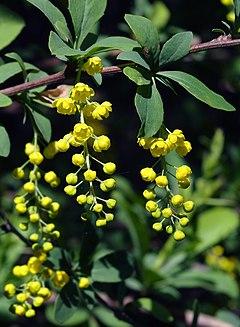 240px berberis chinensis