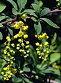 Berberis chinensis.jpg