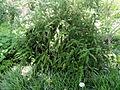 Berberis gagnepainii - Botanischer Garten, Frankfurt am Main - DSC02682.JPG