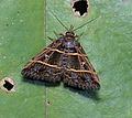 Bertula sp. (21205757023).jpg