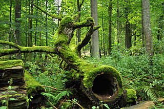 Białowieża Forest old forest in Poland and Belarus