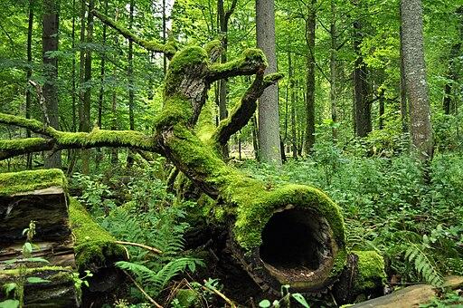Bialowieza National Park in Poland0029