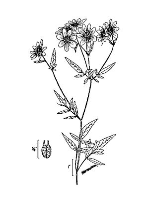 Description de l'image Bidens aristosa 2.jpg.