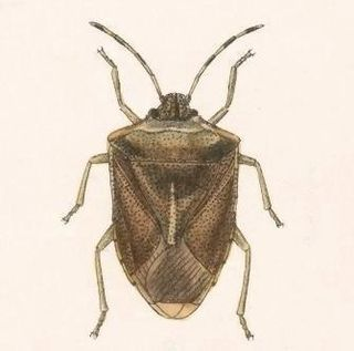 <i>Thyanta</i> genus of insects
