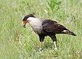 Birds florida vierawetlands (17734505302).jpg