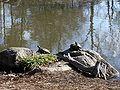 Birmingham Botanical Gardens - Turtles along Long Life Lake.jpg