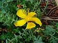 Blühendes Johanniskraut mit Insekt.JPG