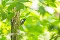Black-and-white warbler (26534197403).jpg