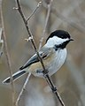 Black-capped Chickadee (Poecile atricapillus) - Cambridge, Ontario 01.jpg