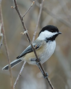 240px black capped chickadee (poecile atricapillus)   cambridge, ontario 01