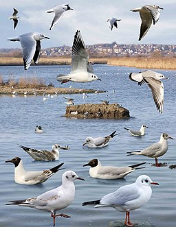 Black-headed Gull from the Crossley ID Guide Britain and Ireland