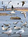 Black-headed Gull from the Crossley ID Guide Britain and Ireland.jpg