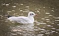 Black-headed gull (38410515961).jpg