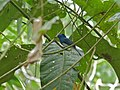 Black-naped Monarch (Hypothymis azurea) (8082930463).jpg