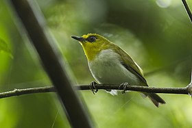 Black-ringed White-eye.jpg