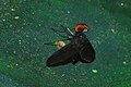 Black-winged Fly (Rhagionidae) (8077468049).jpg