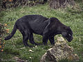 Black Jaguar (10037053435).jpg