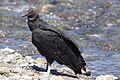 Black Vulture (4303145552).jpg
