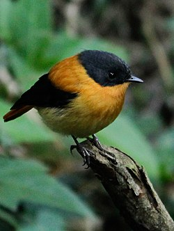 Black and orange fly catcher.jpg