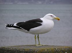 Black backed gull 02.jpg