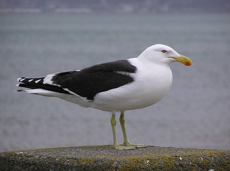 Ficheiro:Black backed gull 02.jpg