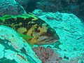 Black yellow rockfish.jpg