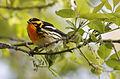Blackburnian Warbler Setophaga fusca, Magee Marsh, Ohio 1.jpg