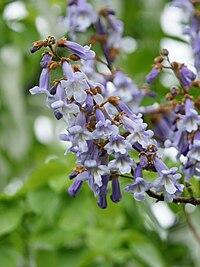 Blauglockenbaum, Paulownia tomentosa 4
