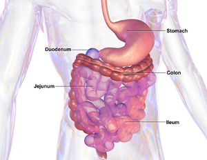Gastrointestinal tract - Illustration of human gastrointestinal tract