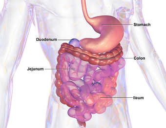 Gastrointestinal tract wikipedia illustration of human gastrointestinal tract ccuart Choice Image