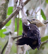 Blond-crested Woodpecker.jpg