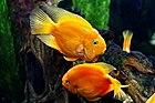 Blood Red Parrot fish.jpg