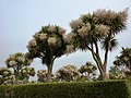 Blooming Torbay Palms, near Torre Abbey, Torquay - geograph.org.uk - 1950456.jpg