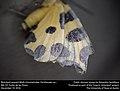 Blotched Leopard Moth (Geometridae, Pantherodes sp.) (31910635336).jpg