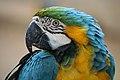 Blue-and-gold macaw bird; April 2008.jpg