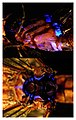Blue-fluorescence-in-UV-light-on-ventrolateral-top-and-dorsal-bottom-anterior-at-left-views-of-the-thorax-of-the-dragonf.jpg