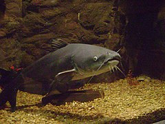 Blue catfish.jpg