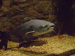 Blue catfish.jpg blue catfish Blue Catfish - (Ictalurus furcatus) 250px Blue catfish
