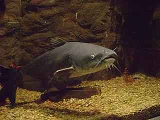 Blue catfish species of fish