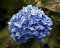 Blue hydrangea flower in the Woodland Garden at Goodnestone Park Kent England.jpg