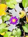 Blue lotus sri lanka.jpg