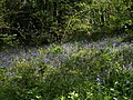 Bluebells, Woodleigh Wood - geograph.org.uk - 1297099.jpg