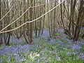 Bluebells on One Tree Hill - geograph.org.uk - 478458.jpg