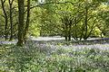 Bluebellswoods.jpg