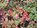 Blueberry-leaves-in-autumn FI-EU 2007-Sep-30 by-RAM.jpg