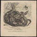 Boa constrictor - 1700-1880 - Print - Iconographia Zoologica - Special Collections University of Amsterdam - UBA01 IZ11900036.tif
