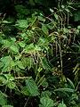 Boehmeria tricuspis - Flickr - peganum (2).jpg