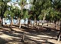Bois de filaos sur l'arrière-plage.jpg